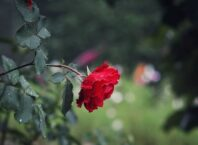 molitva za ljubav ruza cvet